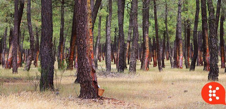(Português do Brasil) Ciclo da madeira: entenda o ciclo sustentável do pinheiro